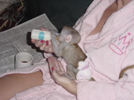 Tamed Capuchin monkeys available